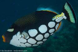 BD-141011-Komodo-4276-Balistoides-conspicillum-(Bloch---Schneider.-1801)-[Clown-triggerfish.-Leopardtryckarfisk].jpg